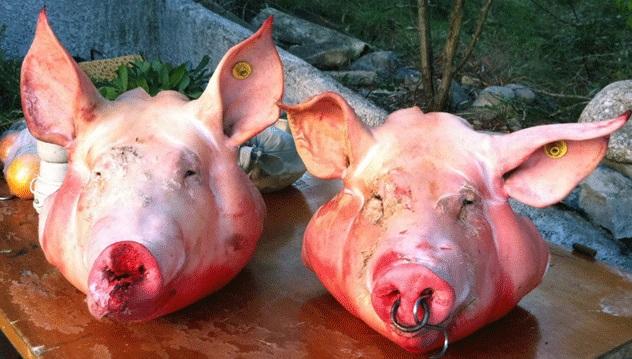 Rome des t tes de cochon envoy es l 39 ambassade d 39 isra l et la grande synagogue le monde juif - Tete de cochon a colorier ...